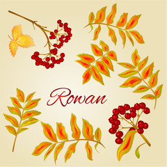 Rowan leaves and berries Vector