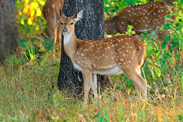 Female spotted deer or chital (Axis axis), Kanha National Park, India.