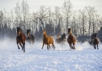 Wall Mural - Herd of horses running in the snow