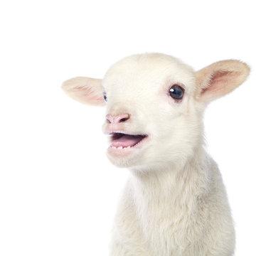 White baby lamb