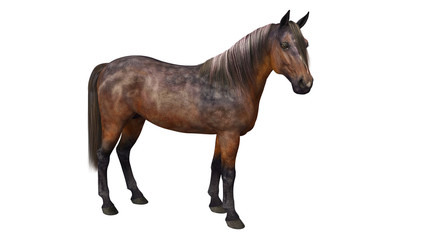 Horse standing, hoofed animal isolated on white background