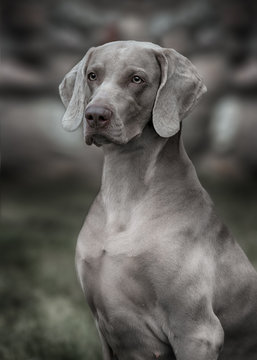 Weimaraner dog.  Closeup portrait