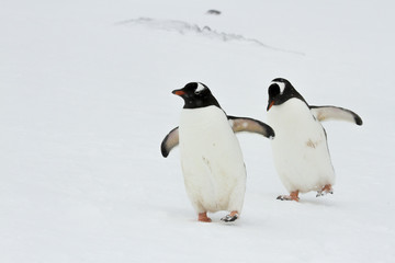 Syncronized pair of Gentoo Penguins