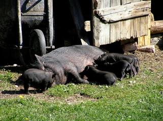 Swine Family