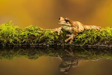 Fototapete - Amazon Milk frog