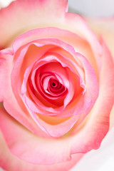 Pink rose closeup on white bright background