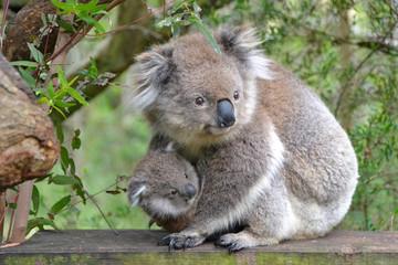 Koala mit Joey