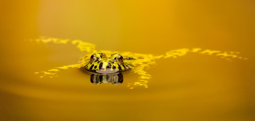 Fototapete - relax, a Fire bellied toad floating about in the water