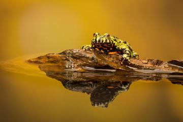 Fototapete - Fire bellied toad