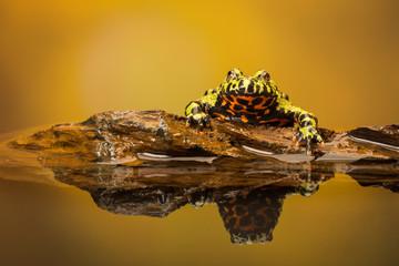 Fototapete - Water testing fire bellied toad