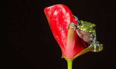 Fototapete - Smile a little peacock tree frog on a flower