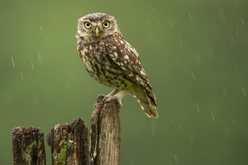 Poster - Little owl in the rain