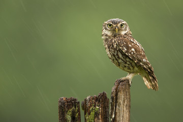 Fototapete - Little owl in the rain
