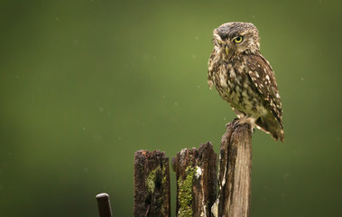 Fototapete - Mr Grumpy, a wild little owl looking at the camera