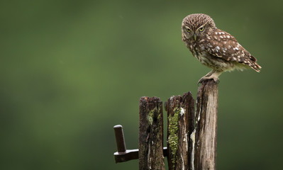 Wall Mural - stern look from a little owl