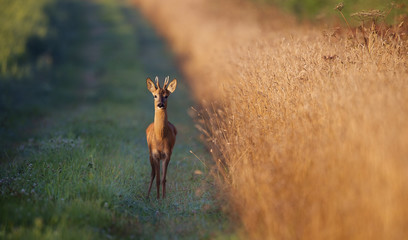 Wall Mural - young roe buck deer