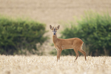 Wall Mural - roe buck deer