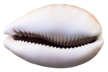 empty shell of cowry mollusk isolated on white