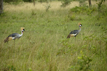 Grey Crowned-Cranes walking in National patch Mburo, Uganda