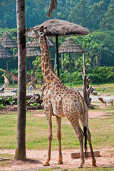 Giraffe with a yummy tree