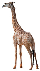 Giraffe with a white background
