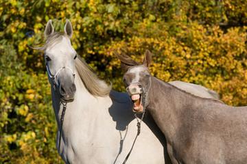 Portrait yawn horses