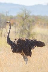 Ostrich, Kruger park, South africa