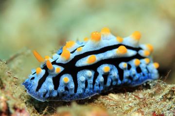 Varicose Wart Slug (Phyllidia Varicosa). Padang Bai, Bali, Indonesia
