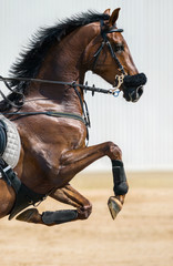 Fototapete - Portrait of a jumping horse in a hackamore