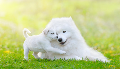 Mixed breed white puppy and samoyed dog on green background Wall mural