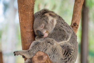 Sleeping Koala Bear in Tree