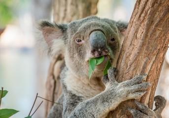 Eating Koala Bear in Tree