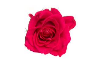 Isolated pink rose on a white background