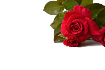 Roses isolated on white background
