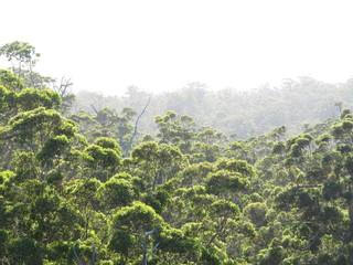 Karri Trees, West Australia