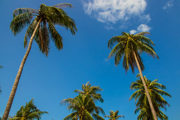 Coconut trees with sky background