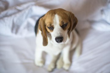 Sleepy tricolor beagle dog sitting on unmade bed