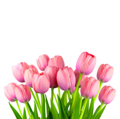 Border of Fresh Pink Tulips,  fresh flowers  isolated on white