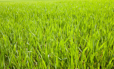 green field with cereal