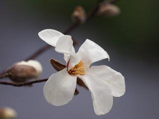 白木蓮の咲くせせらぎの小径