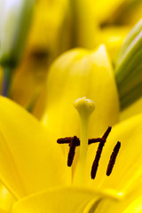 yellow lily ,  close up
