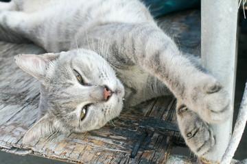 relaxing gray cat , intervene