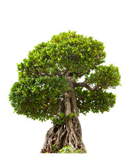 Green bonsai tree of banyan, isolated on white background
