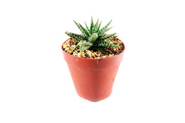 Aloe Cactus in pot on white background, Cactus isolate