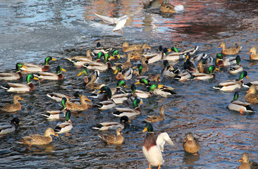 flock of many mallard ducks in the water and a seagull flying above them