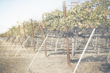 Vineyard in Autumn with Vintage Instagram Style Filter