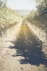 Vineyard in the Fall with vintage instagram style filter