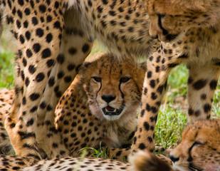 Fototapete - Portrait of a cheetah. Close-up. Kenya. Tanzania. Africa. National Park. Serengeti. Maasai Mara. An excellent illustration.