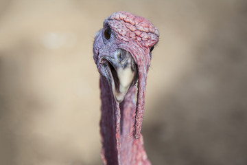 The portrait of turkey on the farm