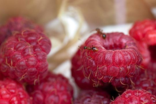 ants crawl on a raspberry